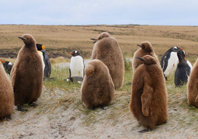 Bluff Cove – Falkland Islands